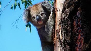 Koala, Mansfield Zoo