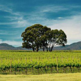 Vineyard Bush Picnic